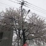 ふじみ野市上福岡の桜