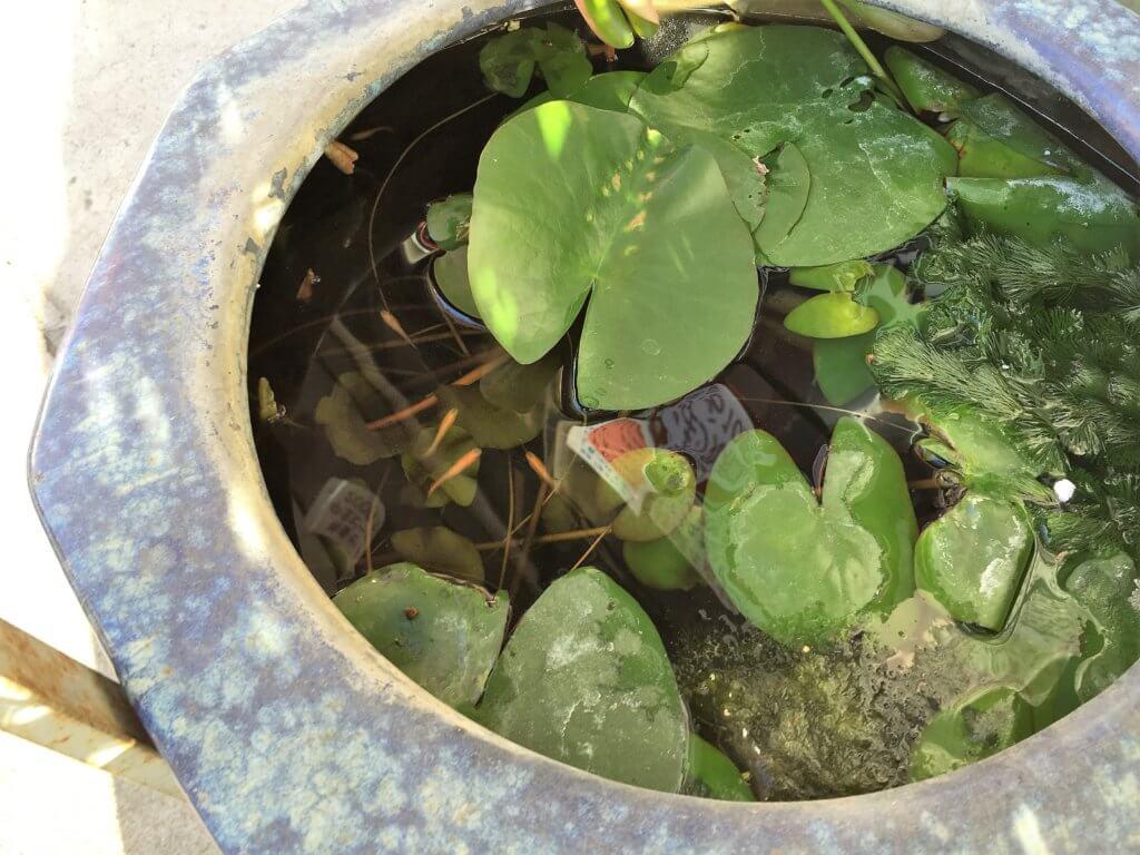 ホルモン丸和の睡蓮鉢とメダカ
